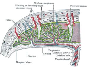 胎盤の構造